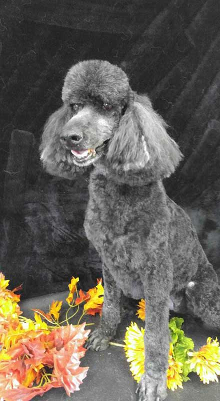 Gray Poodle Sitting