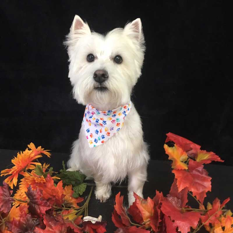 White Terrier Sitting